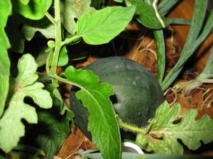 Melon #1