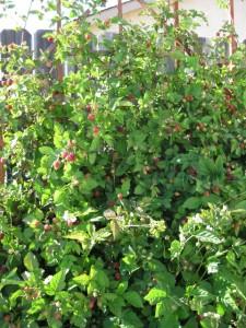 Boysenberries growing